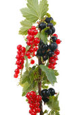Branch currants — Stock Photo