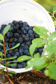 Bilberry in the forest — ストック写真