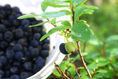 Bilberry in the forest — Stockfoto