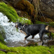 Royalty-Free Stock Photo: Dog drink from creek