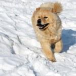 Chow-chow on snow — Stock Photo