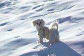 Small white poodle on snow — Stock Photo