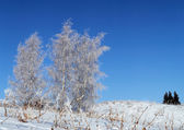 Three hoar-frost birch and three small fir tree — Стоковое фото