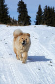 Chow-chow on winter road — Stock Photo