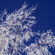 Hoar-frost on birch and blue sky — Stock Photo