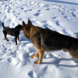 Stock Photo: Big and small dogs on snow