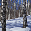 Winter birch forest and blue sky - Stock Photo