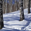 Winter birch forest - Stock Photo
