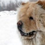 Chow-chow dog portrait — Stock Photo #2707332