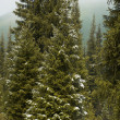 First snow on mountain pine forest — Stock Photo #2709743