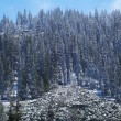 First snow on mountain pine forest — Stock Photo