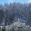 Stock Photo: First snow on mountain pine forest