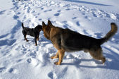 Big and small dogs on snow — Stock Photo