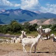 Stock Photo: Herd of goats