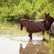 Two horses in water — Stock Photo