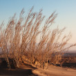Shrub Saxaul (Haloxylon) in sand desert — Stock Photo