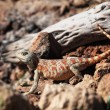 Lizard in desert — Stock Photo