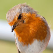 European robin closeup showing feather detail — Stock Photo