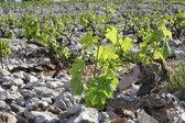 Vineyard close up — Stock Photo