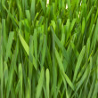 Grass macro — Stock Photo