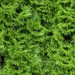 Thuja texture — Stock Photo