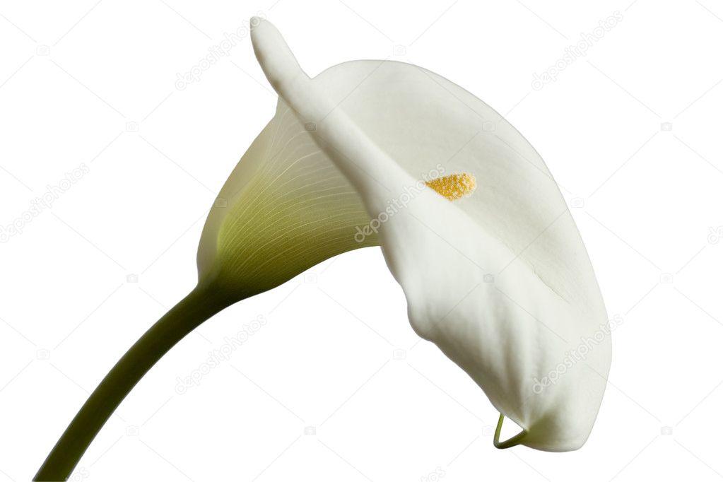calla lily stockfoto tomisl z 3714640. Black Bedroom Furniture Sets. Home Design Ideas