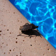 Bug on swimming pool — Stock Photo