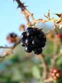 ブラックベリーのマクロ — ストック写真