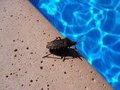 Bug on swimming pool — Stock Photo