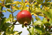 Ripe grenadine on tree with sky in background — Stock Photo