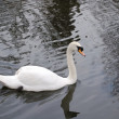 White swan — Stock Photo #2887589