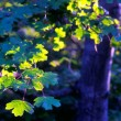 The sun illuminates the green leaves of maple tree — Stock Photo