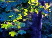O sol ilumina as folhas verdes da árvore de maple — Fotografia Stock