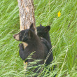 Bear Cubs and Wavy Grass - Stock Photo