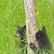 Stock Photo: Black Bear Cubs