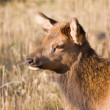 Elk Calf Portrait - Stock Photo