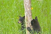 Black Bear Cubs — Stock Photo