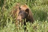 Cinnamon Bear — Stock Photo