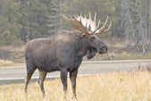 Moose Beside Snake River — Stock Photo