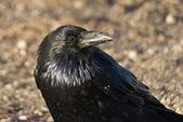 Eye of the Raven — Stock Photo