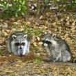 Pair of Raccoons — Stock Photo