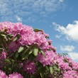 Rhododendron — Stock Photo #3191440