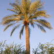 Palm Tree — Stockfoto #2775655