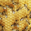 Honeybees on a comb - Stock Photo