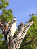 Changeable hawk eagle — Stock Photo