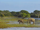 Elephants in yala national park — Stock Photo