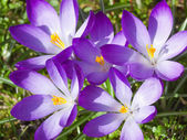 Purple crocus — Stock Photo