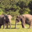 Two sri lankelephants — Stock Photo #2762344