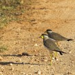 Yellow wattled lapwings - Stock Photo