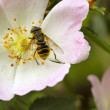 Hoverfly on wild dog rose — Stock Photo #2764313